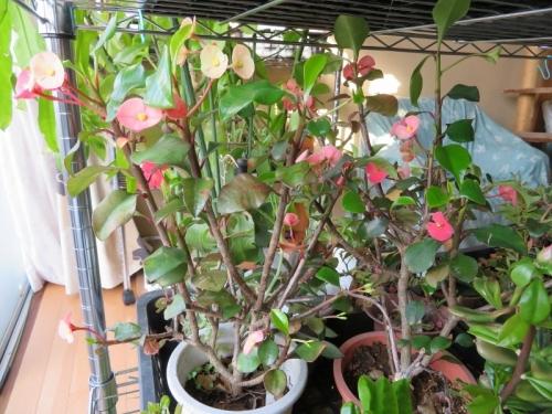 ユーフォルビア・ゲロルディ(Euphorbia geroldii)マダガスカル原産~2018.01.19