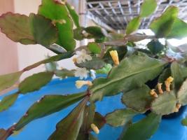 リプサリス・窓の梅(Rhipsalis crispata)室内で開花中♪2018.01.23