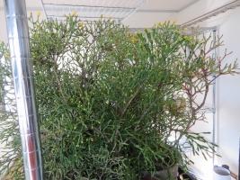 ハチオラ・猿恋葦(Hatiora salicornioides)室内暖房部屋(黄色花)で開花中♪2018.01.23