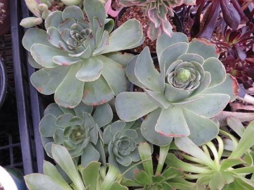 グリーノビア・ オーレア 玉姫椿(たまひめつばき)(Greenovia aurea)花芽が上がってきました♪2018.01.31