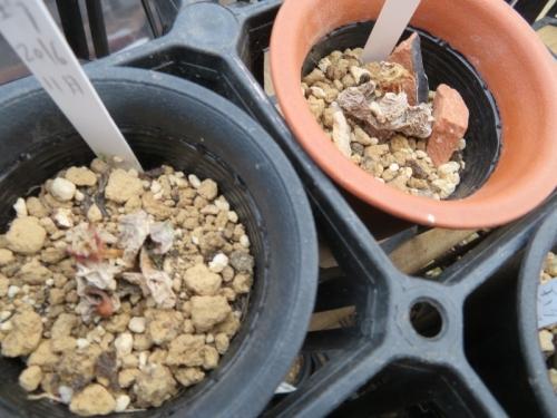 ラビダリア・魔玉(マギョク)(Lapidaria margaretae)一種一属~開花後枯れてしまいました。2018.01.31