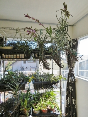 チランジア・ドゥラティ(Tillandsia duratii)真冬の室内で開花中♪2018.02.04