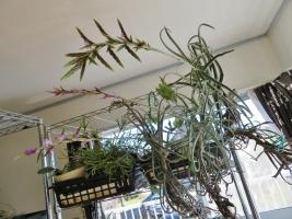 チランジア・ドーラティ(Tillandsia duratii)真冬の室内で開花中♪2018.02.04