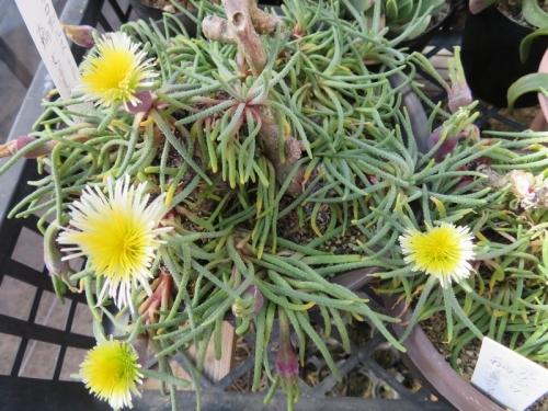 フィロボルスSPきれいな花びらだけがなきれいに虫に・・・食われています(ToT)/~~~2018.02.05