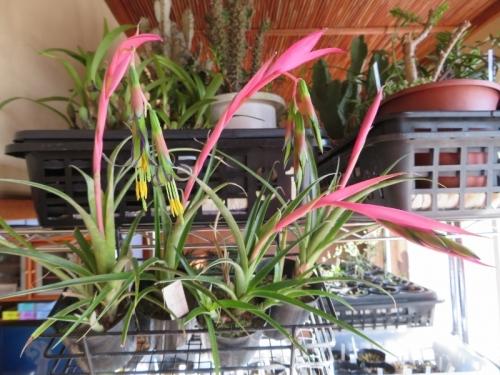 ビルベルギア・ヌタンス(Billbergia nutans)~真冬の室内で開花中♪2018.02.06
