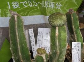 接ぎ木したガガイモ、プセウドリトスが萎みました(ToT)/~~~2018.02.11