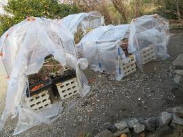 サボテン・多肉植物用、簡易ビニールハウスは暴風被害に今年何度目!ビリビリビリーです(ToT)/~~~2018.02.15