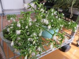 リプサリス・ケレウスクラ(Rhipsalis cereuscula)青柳~暖房室内で開花中2018.02.15