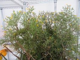 ハチオラ・猿恋葦(Hatiora salicornioides)~暖房室内で開花中2018.02.15