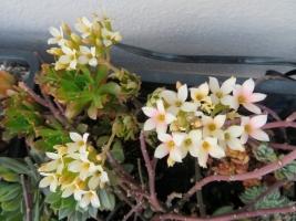 細葉のカランコエ♪白花~ややピンク、簡易ビニールハウス内で早くも開花中♪2018.02.24