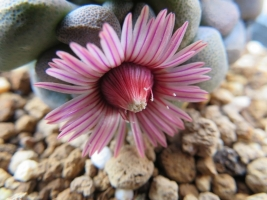 アロイノプシス・唐扇( Aloinopsis schooneesii) ~たくさん開花中♪2018.02.26