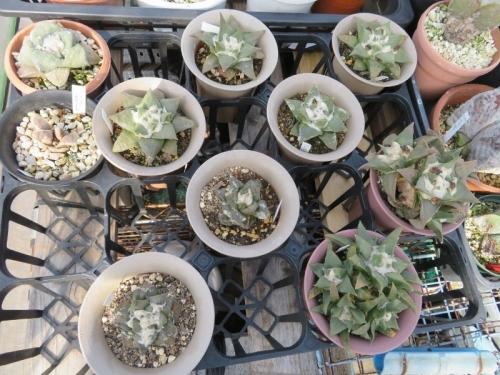 ■アリオカルプス・三角牡丹×岩牡丹(Ariocarpus retusus)交雑種?美白花♪~2018.03.03
