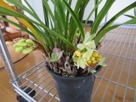 小型の淡い黄色花♪シンビジウム花芽が3か所もできています♪2018.03.07