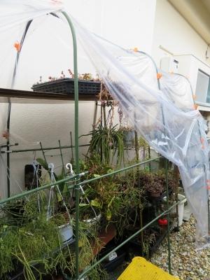 アポロカクタス・メラニー~軒下簡易ビニールハウス内で冬越して花芽が上がってきました♪2018.03.10