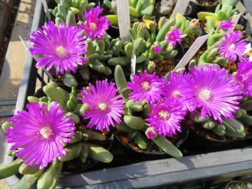 ■ギバエウム・碧玉(Gibbaeum=Antegibbaeum fissoides)~開花ちゅ~♪2018.03.12