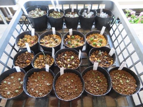 うまくできていないサボテン実生苗を植え替えました♪2018.03.25