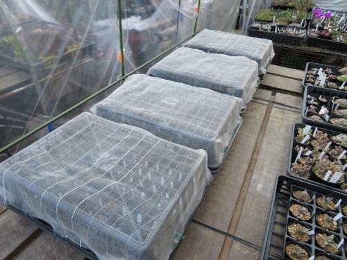 サボテン・メセン実生苗を植え替えて、遮光して屋外簡易ビニールハウスに出しました♪2018.03.25
