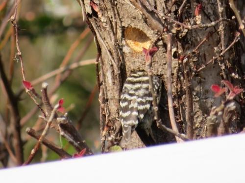 小さな啄木鳥♪コゲラちゃん♪2匹で2穴掘っていました。2018.03.25