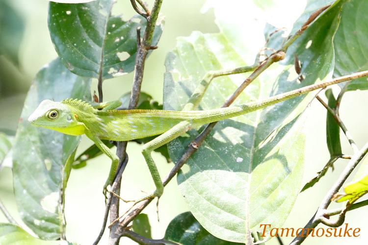 Borneo_Anglehead_Lizard_17_2.jpg