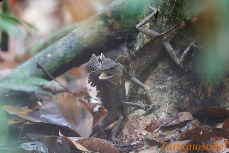 Borneo_Anglehead_Lizard_17_3.jpg