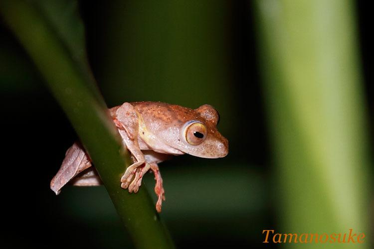 Harlequin_Tree_Frog_17_2.jpg