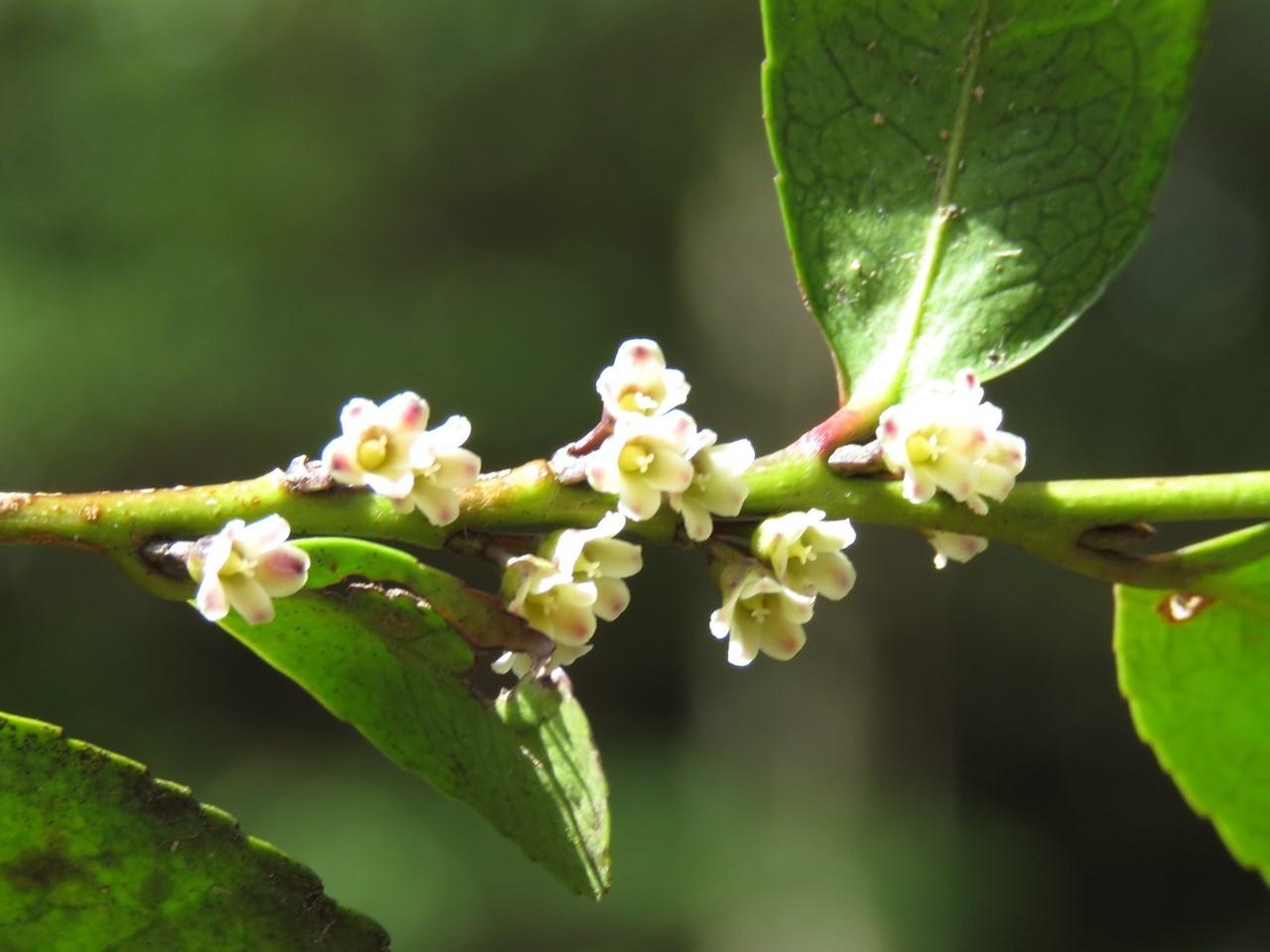 s-ヒサカキ雌花 甲山森林公園180323