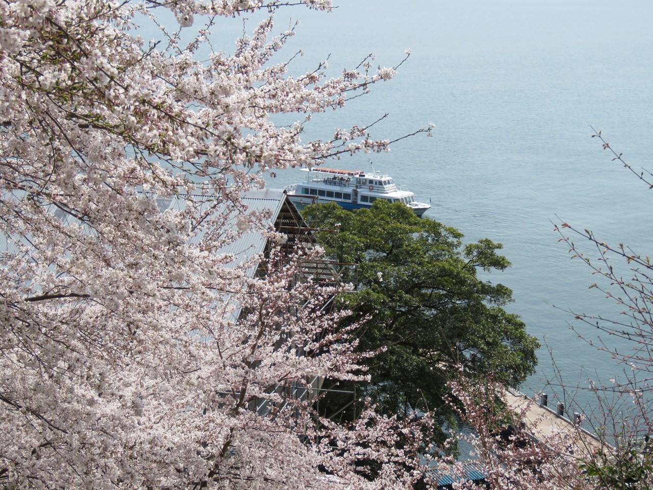 s-竹生島サクラ