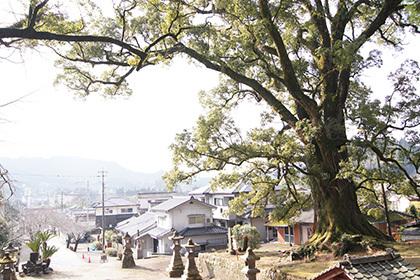 180123蒲生八幡神社のクス②
