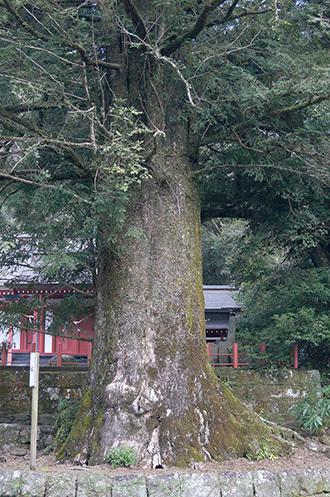 180123蒲生八幡神社のカヤ②