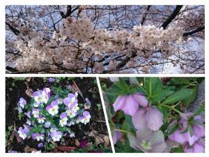 20180324桜は来週