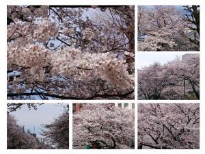 桜並木20180326