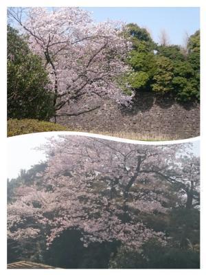 皇居の桜①20180329