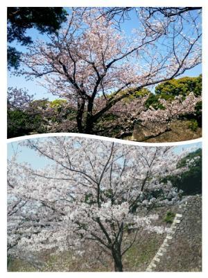 皇居の桜②20180329