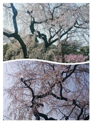 皇居の桜③20180329