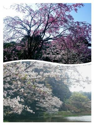 皇居の桜④20180329