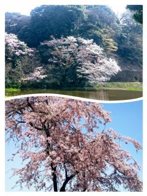 皇居の桜⑤20180329