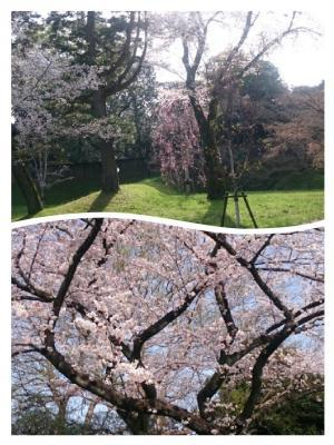 皇居の桜⑥20180329