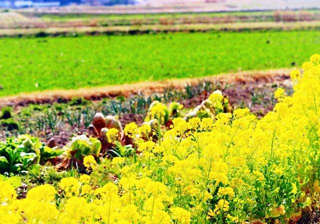麦畑と菜の花3