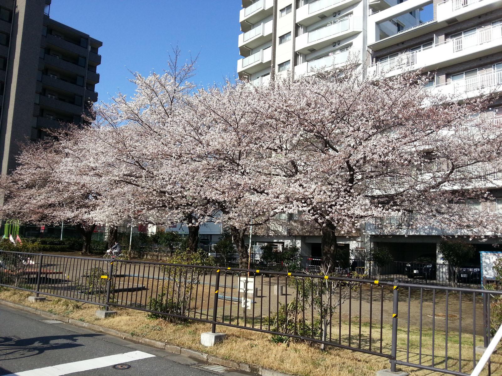 桜20180324