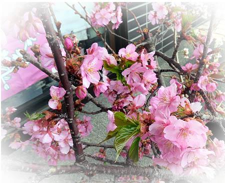 325たつやさん桜1