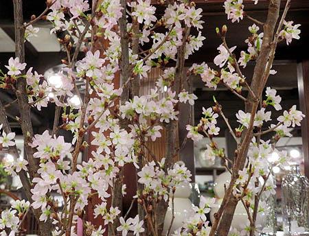 320寒緋桜