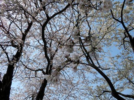 41この桜の下で