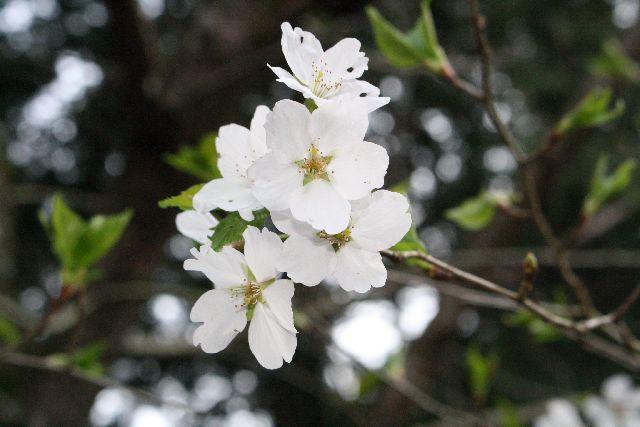 印相体 茨城の桜