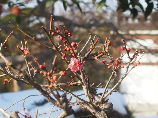 20180128・全徳寺と狭山湖植物05・コウバイ