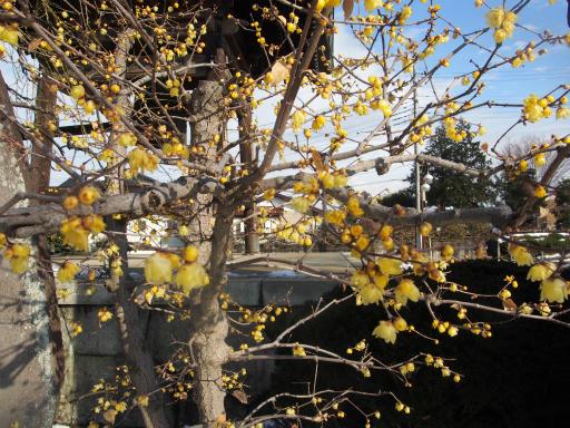 20180128・全徳寺と狭山湖植物03・ソシンロウバイ