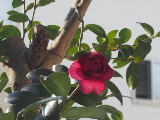 20180128・全徳寺と狭山湖植物01・サザンカ