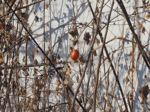 20180128・全徳寺と狭山湖植物10・カラスウリ