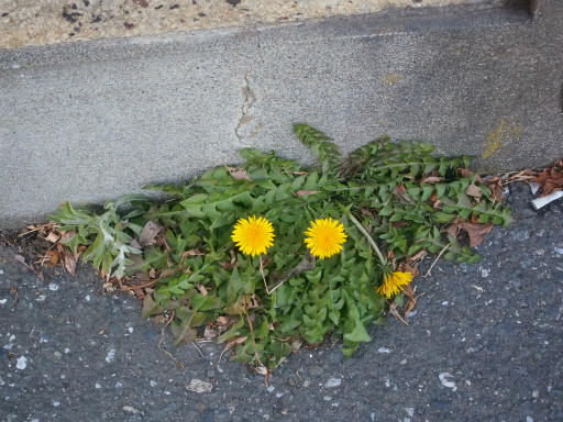 20180128・全徳寺と狭山湖植物18・タンポポ
