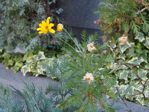 20180218・いとこの結婚式植物3・ユリオプス・デージー