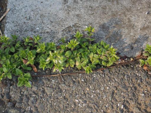 20180311・震災7年目の散歩植物03・オランダミミナグサ